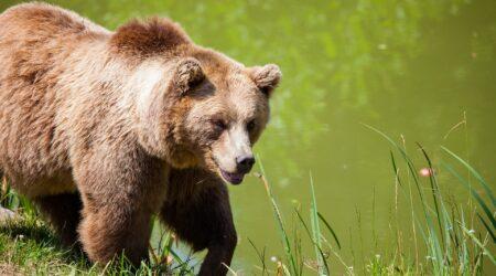 Karu on Eesti metsade suurim kiskja. Foto on illustratiivne.